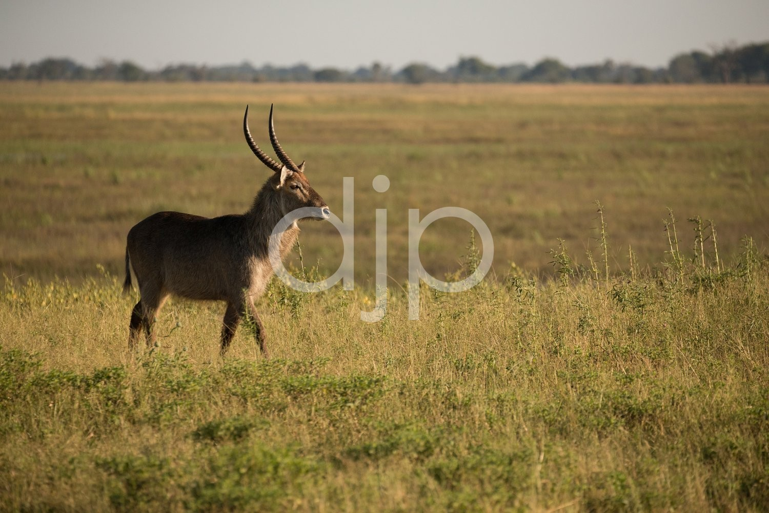 Male African Waterbuck