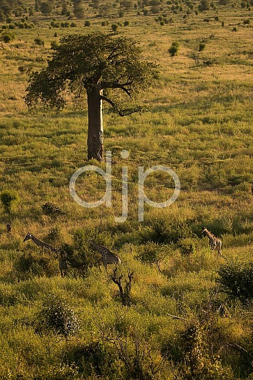 Safari, Zimbabwe, djonesphoto, giraffes, grazing, green, wildlife, yellow, Africa
