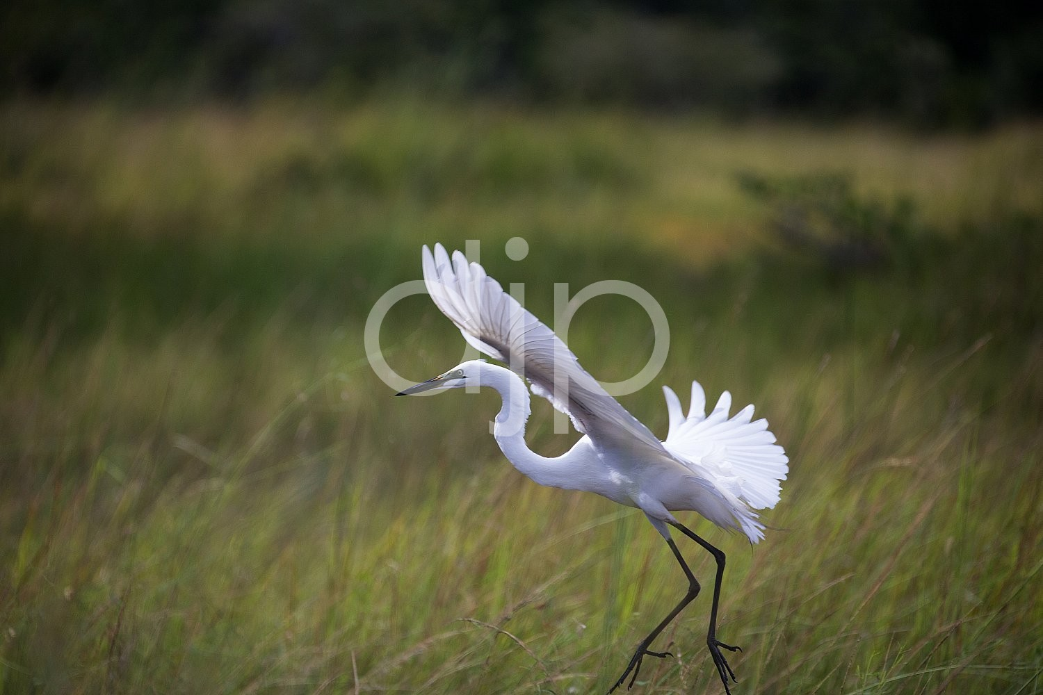 Botswana, Safari, birds, djonesphoto, green, white, zambia, Africa
