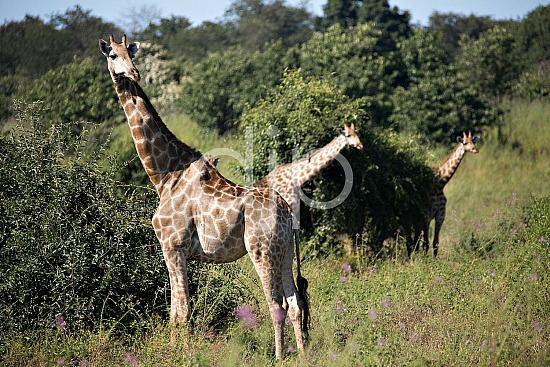 Safari, Zimbabwe, blue, brown, d. jones photography, djonesphoto, giraffes, green, yellow, Africa