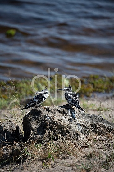 Pair of Pied Kingfishers