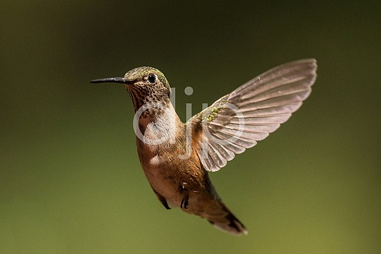 New Mexico, Santa Fe National Forest, nm, hummingbirds