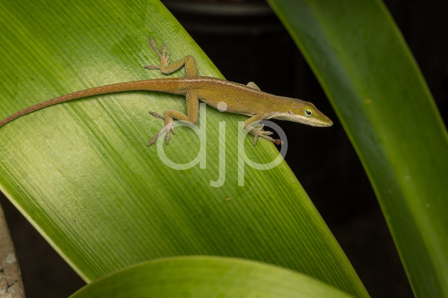 D Jones Photography, Sugar Land, djonesphoto, excursions with djp, flash, green, lizard, macro, personal, quarantine, brown