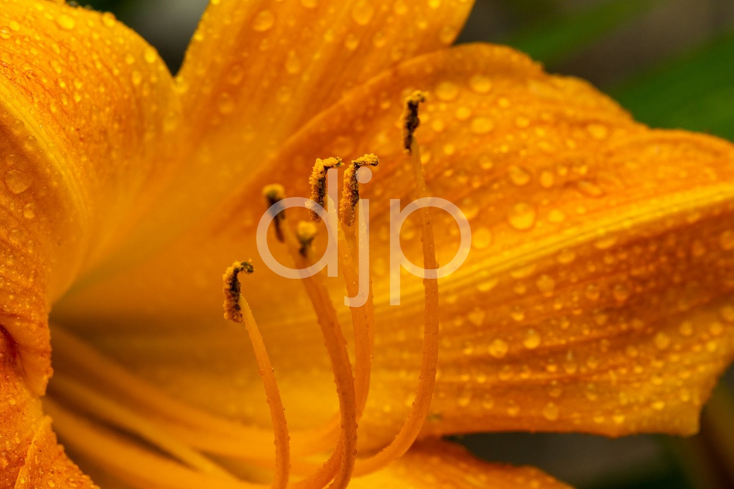 Sugar Land, djonesphoto, excursions with djp, flowers, lily, macro, orange, personal, quarantine, D Jones Photography