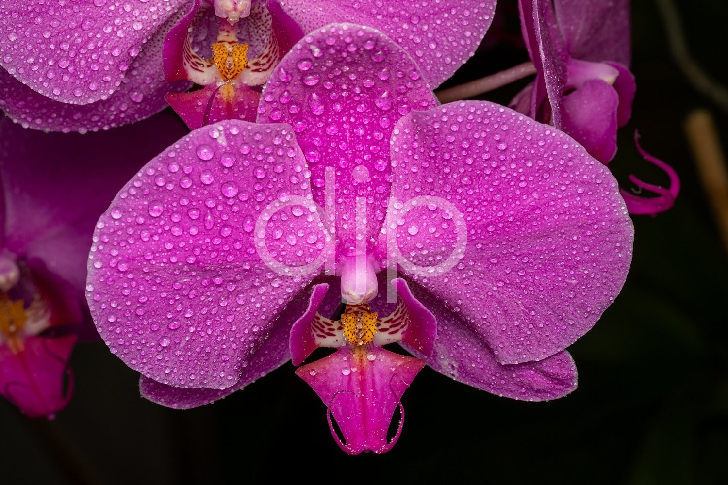 Sugar Land, djonesphoto, excursions with djp, flowers, macro, orchid, orchids, personal, pink, quarantine, D Jones Photography