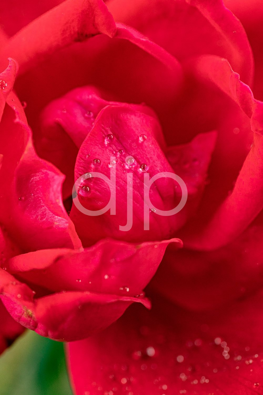 Sugar Land, djonesphoto, excursions with djp, flowers, macro, personal, quarantine, red, rose, D Jones Photography