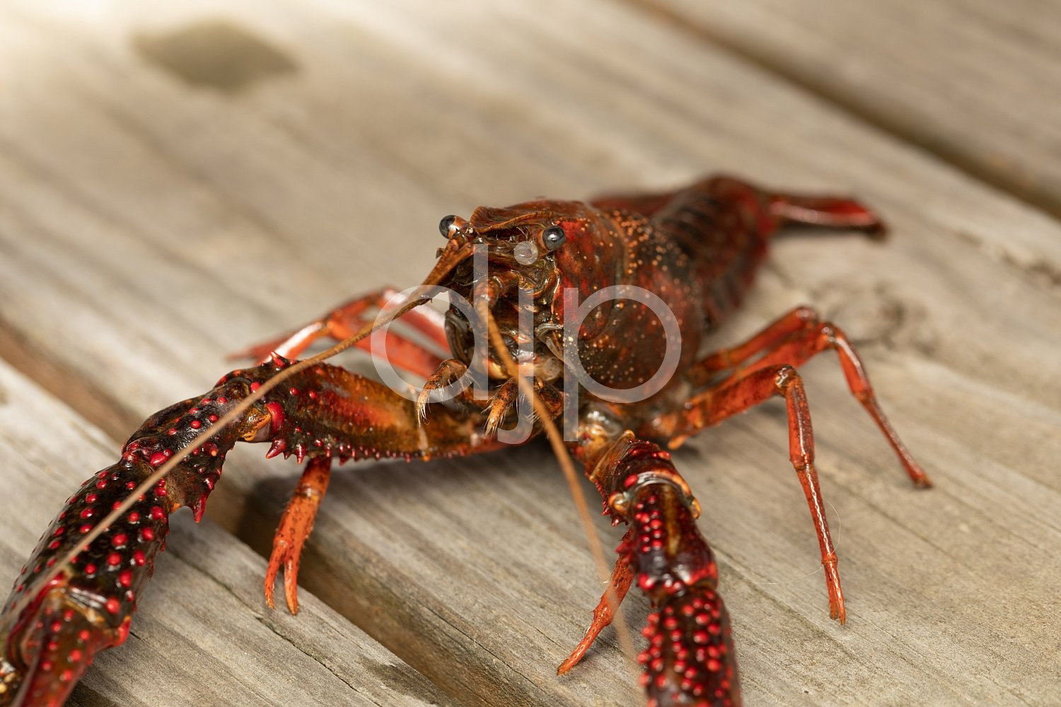 D Jones Photography, Sugar Land, djonesphoto, excursions with djp, flash, macro, personal, quarantine, red, crawfish