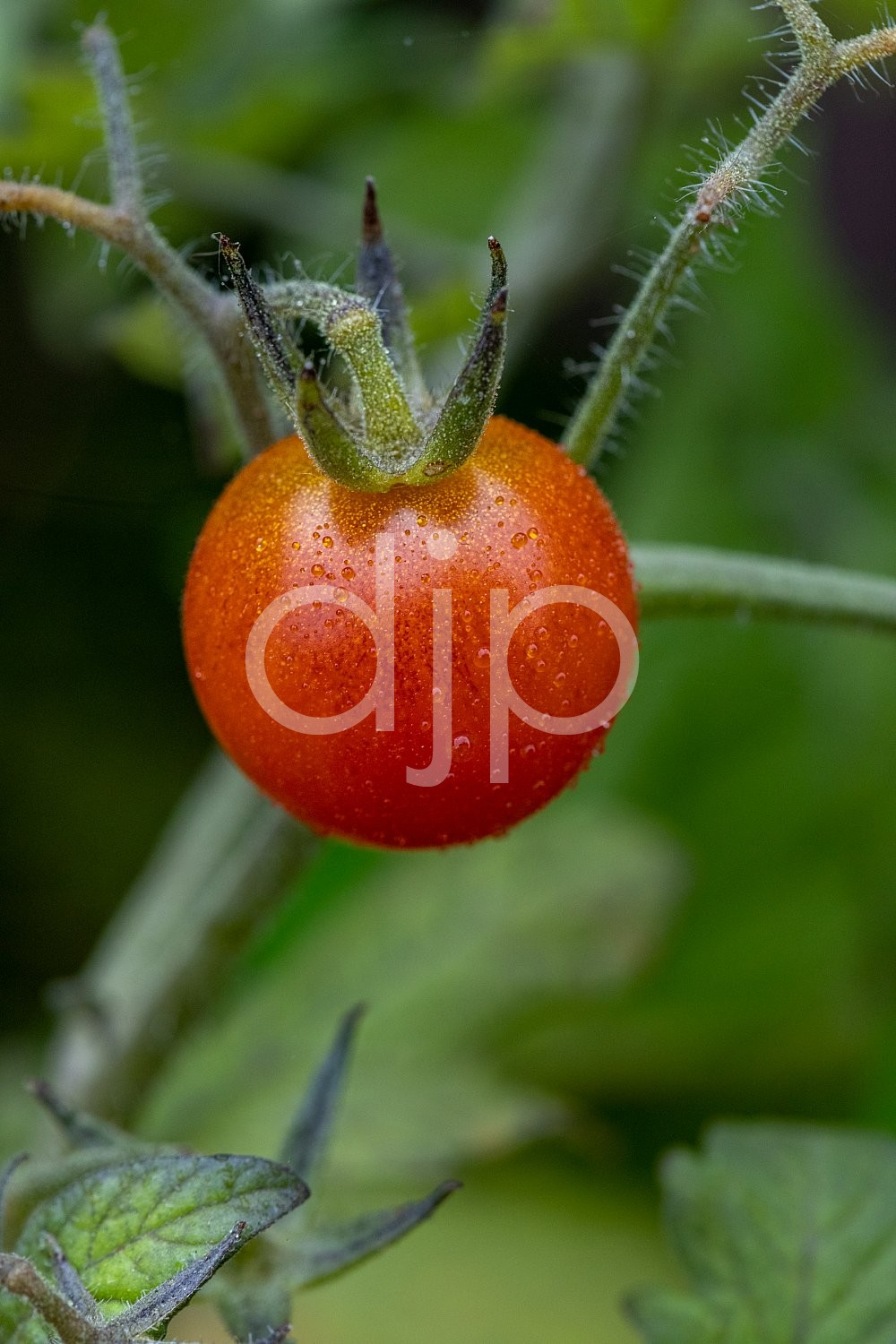 Sugar Land, djonesphoto, excursions with djp, macro, personal, quarantine, tomatoes, D Jones Photography