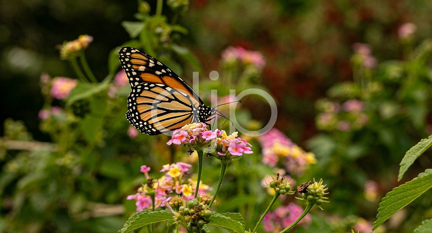 D Jones Photography, butterfly, djonesphoto, dragonfly, flowers, lantana, macro, monarch, orange, personal, pink, white, yellow, black
