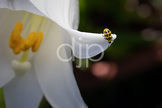 D Jones Photography, Sugar Land, black, djonesphoto, excursions with djp, flower, flowers, lily, macro, personal, quarantine, spotted cucumber beetle, white, yellow, beetle