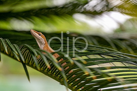 D Jones Photography, Sugar Land, djonesphoto, excursions with djp, lizard, macro, personal, quarantine, sago palm, brown