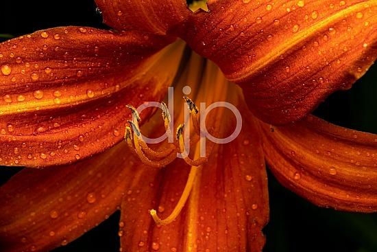 Sugar Land, djonesphoto, excursions with djp, flowers, lily, macro, orange, palm, personal, quarantine, yellow, D Jones Photography