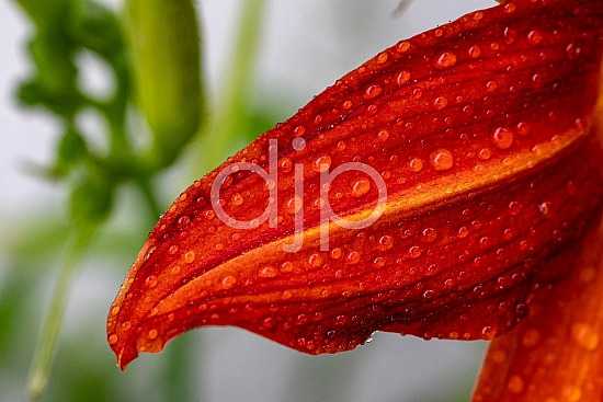 D Jones Photography, Sugar Land, djonesphoto, excursions with djp, flowers, macro, personal, quarantine, red, amaryllis