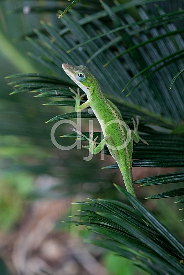 Sugar Land, djonesphoto, excursions with djp, green, lizard, macro, personal, quarantine, sago palm, D Jones Photography