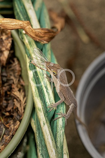 Lizard vs Damselfly II
