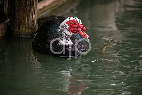 D Jones Photography, Sugar Land, djonesphoto, duck, excursions with djp, muscovy duck, personal, quarantine, birds