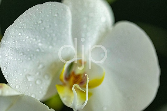 D Jones Photography, djonesphoto, flowers, macro, orchids, personal