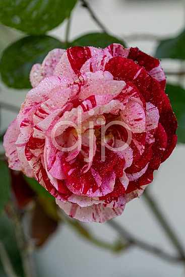 Sugar Land, djonesphoto, excursions with djp, flowers, macro, personal, quarantine, red, D Jones Photography