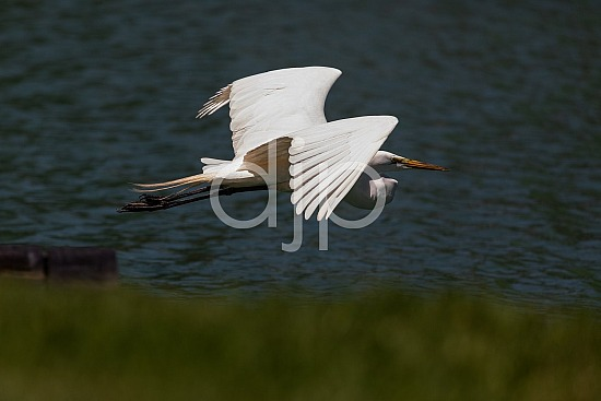 D Jones Photography, Sugar Land, djonesphoto, egret, excursions with djp, personal, quarantine, white, birds