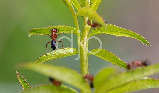 D Jones Photography, black, djonesphoto, green, macro, personal, red, ants