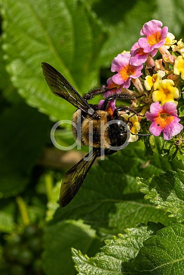 D Jones Photography, Sugar Land, black, djonesphoto, excursions with djp, lantana, macro, personal, pink, quarantine, yellow, bees