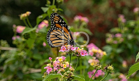 D Jones Photography, butterfly, djonesphoto, flower, flowers, lantana, macro, monarch, orange, personal, pink, white, yellow, black