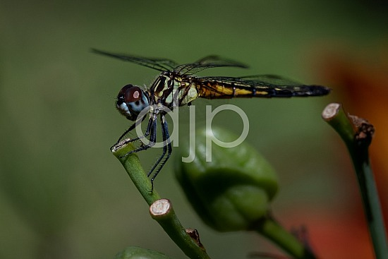 D Jones Photography, Sugar Land, blue, djonesphoto, dragonfly, excursions with djp, green, macro, orange, personal, quarantine, red, black
