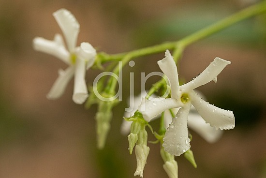 djonesphoto, flower, flowers, green, macro, personal, star jasmine, white, D Jones Photography