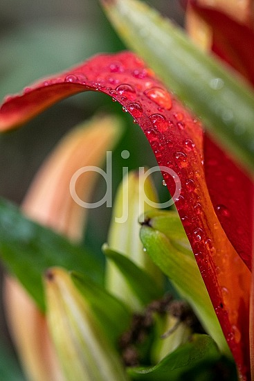 D Jones Photography, Sugar Land, djonesphoto, excursions with djp, flowers, macro, personal, quarantine, amaryllis