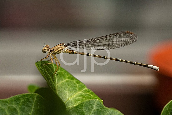 D Jones Photography, damselfly, djonesphoto, macro, personal, brown