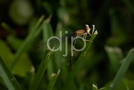 D Jones Photography, Sugar Land, damselfly, djonesphoto, excursions with djp, green, macro, personal, quarantine, brown