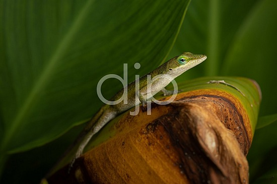 D Jones Photography, Sugar Land, djonesphoto, excursions with djp, green, lizard, macro, personal, quarantine, brown