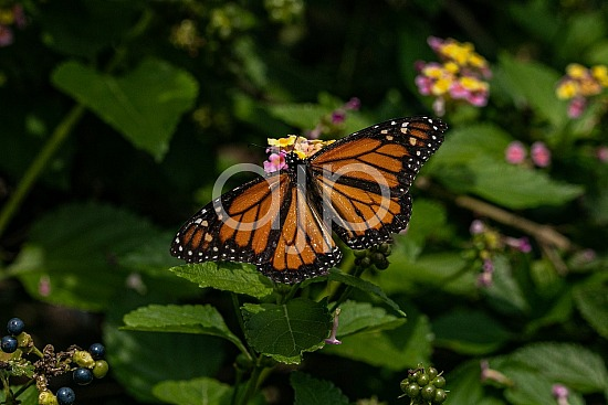 D Jones Photography, Sugar Land, butterfly, djonesphoto, excursions with djp, macro, monarch, orange, personal, quarantine, black