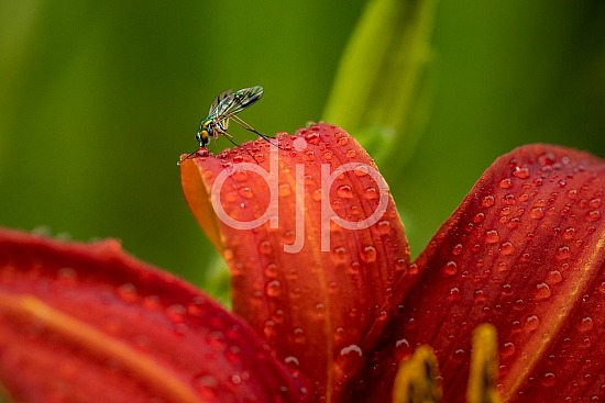 Sugar Land, djonesphoto, excursions with djp, flowers, fly, lily, macro, personal, quarantine, red, D Jones Photography