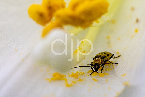 D Jones Photography, Sugar Land, black, djonesphoto, excursions with djp, lily, macro, personal, quarantine, spotted cucumber beetle, white, yellow, beetle