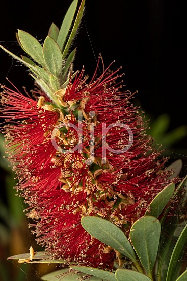 D Jones Photography, Sugar Land, djonesphoto, excursions with djp, flash, flowers, macro, personal, quarantine, red, textures, bottlebrush