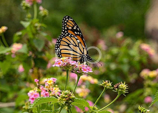 D Jones Photography, butterfly, djonesphoto, flower, flowers, lantana, macro, orange, personal, pink, white, yellow, black