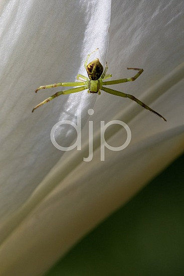 D Jones Photography, Sugar Land, djonesphoto, excursions with djp, green, lily, macro, personal, quarantine, spider, white, brown