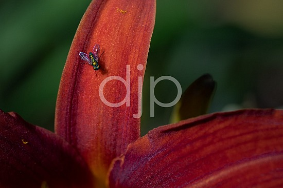 D Jones Photography, Sugar Land, djonesphoto, excursions with djp, flower, flowers, fly, lily, personal, quarantine, red, bugs