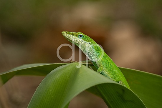 Sugar Land, djonesphoto, excursions with djp, green, lizard, macro, personal, quarantine, D Jones Photography