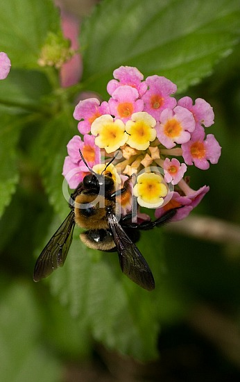D Jones Photography, black, djonesphoto, flowers, lantana, macro, personal, pink, yellow, bees