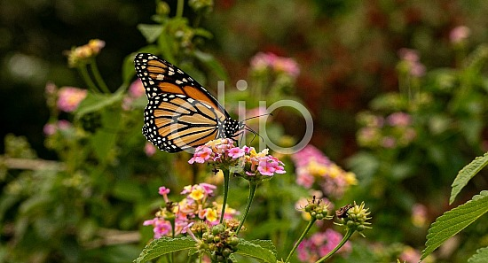 D Jones Photography, butterfly, djonesphoto, flowers, lantana, macro, monarch, orange, personal, pink, white, yellow, black