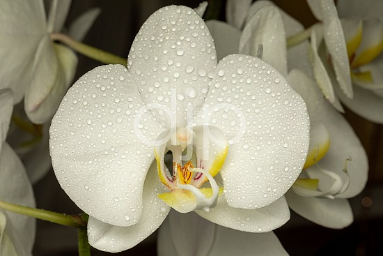 Sugar Land, djonesphoto, excursions with djp, flowers, macro, orchid, orchids, personal, quarantine, white, yellow, D Jones Photography