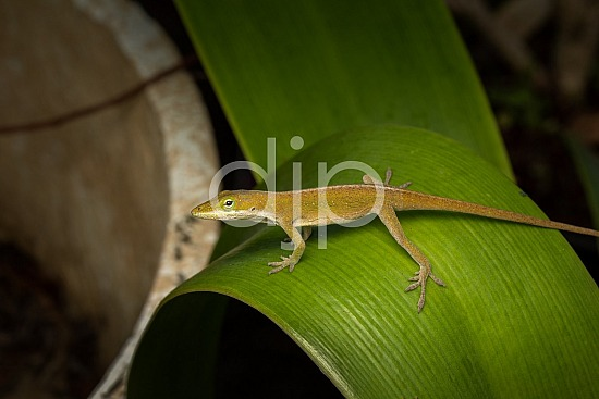 D Jones Photography, Sugar Land, djonesphoto, excursions with djp, flash, flowers, green, lizard, macro, personal, quarantine, brown