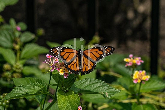 D Jones Photography, Sugar Land, butterfly, djonesphoto, excursions with djp, lantana, macro, monarch, orange, personal, quarantine, black