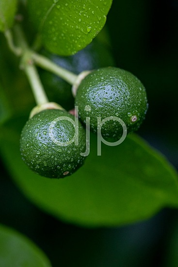 Sugar Land, djonesphoto, excursions with djp, grapefruit, green, macro, personal, quarantine, D Jones Photography