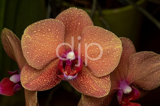 Sugar Land, djonesphoto, excursions with djp, flowers, macro, orange, orchids, personal, quarantine, D Jones Photography
