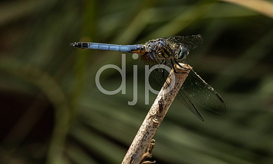 D Jones Photography, blue, djonesphoto, dragonfly, macro, personal, black