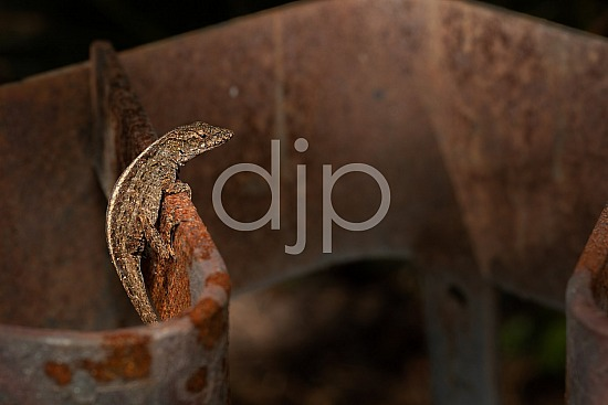 D Jones Photography, Sugar Land, djonesphoto, excursions with djp, lizard, macro, personal, quarantine, rust, brown