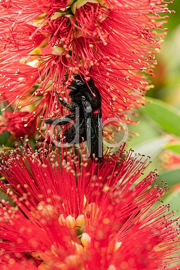 D Jones Photography, Sugar Land, black, bottlebrush, djonesphoto, excursions with djp, flowers, macro, personal, quarantine, red, bees